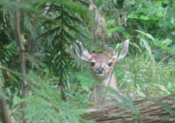 hornby island baby deer by Sharon Colling