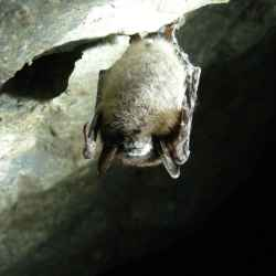 Little_brown_bat_in_cave_myotis_lucifugus