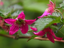 Salmonberry by Joan Brears, cropped