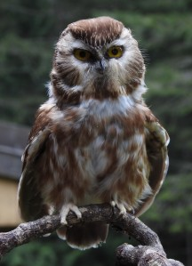Saw Whet Owl at the Natural History Centre. Photo by Barb Biagi.