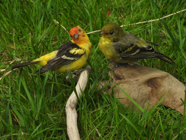 Western Tanager Pair