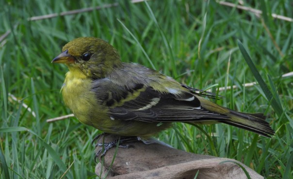 Western Tanager at the Natural History Centre. Photo by Barb Biagi