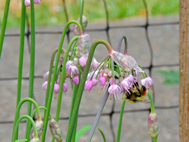 Bee on Nodding Onion