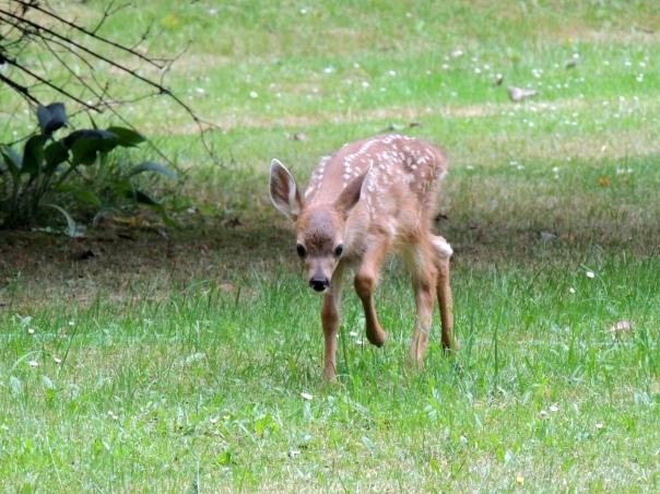 sarat colling curious fawn1