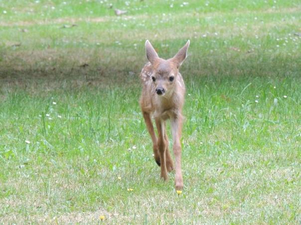 sarat colling curious fawn
