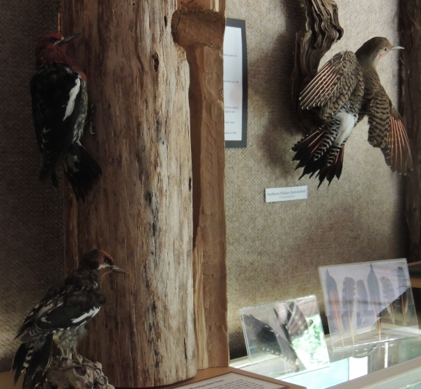 The woodpecker display at the natural history centre includes two red-breasted sapsuckers, a Northern flicker, and a hairy woodpecker nest.