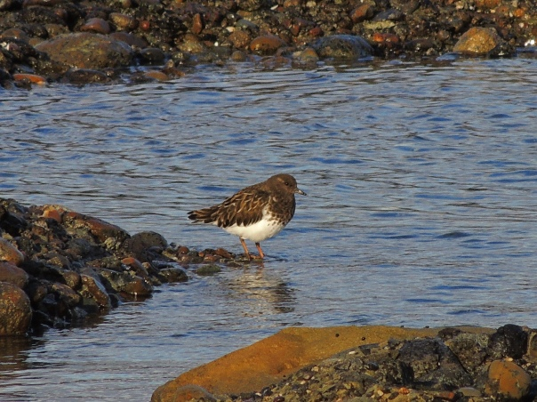 Black Turnstone on Hornby Island. Photo by Barb Biagi.