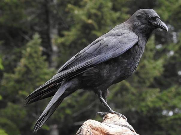 natural history crow