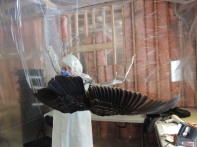 The turkey vulture is carefully cleaned.